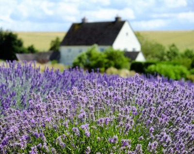 Cotswold Lavender, by Andrew Lockie. https://www.flickr.com/photos/andrewlockie/